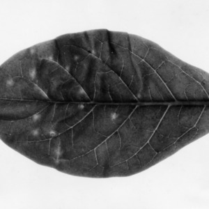 Copy of tobacco leaf