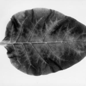 Copy of tobacco leaf
