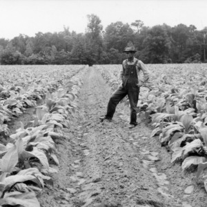 Field of tobacco with tractor alley in field