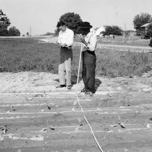 Measuring tobacco land, showing chain