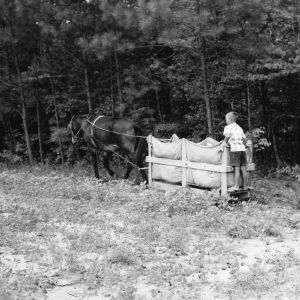 Hauling tobacco leaves by horse and cart