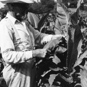 Inspecting tobacco leaves