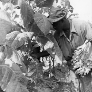 Man collecting tobacco leaves