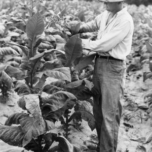 Examining tobacco leaves