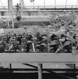Tobacco in flower pots--made in greenhouse