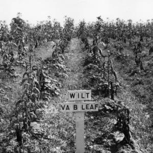Tobacco wilt in a field of Virginia bright leaf