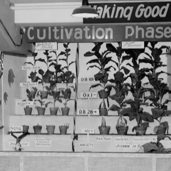 """Making good tobacco better"" display showing the cultivation phase"
