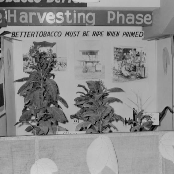 """Making good tobacco better"" display showing the harvesting phase"