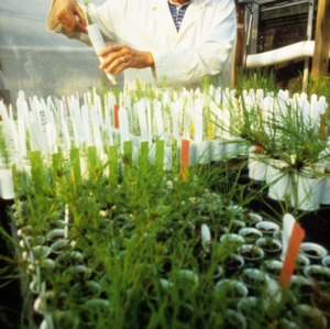 Researcher working in a greenhouse at Centennial Campus