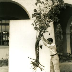 Man holding tree with exposed roots