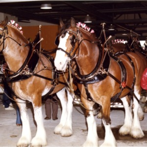 Clydesdale Team at Open House