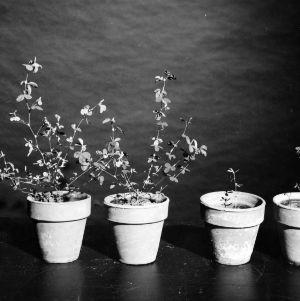 Kobe lespedeza plants in cyst nematode research study