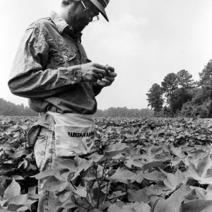 "Cotton ""shagger"" calculating boll weevil numbers through boll damage"