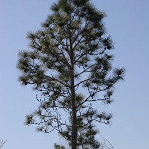 A longleaf pine as tall as the sky