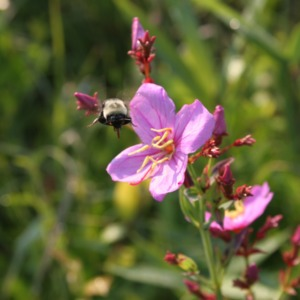 A bumble bee flying towards  the purple flower of the savannah meadow beauty