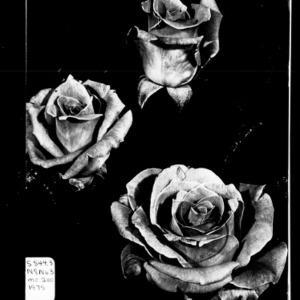 Successful Rose Culture (Extension Circular No. 200, Revised)