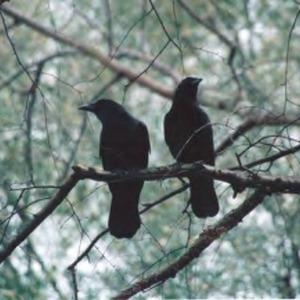 Two black birds in a tree