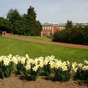 Daffodils on campus
