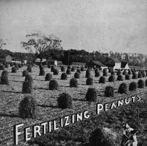 Fertilizing peanuts in North Carolina (Agricultural Experiment Station Bulletin No. 356)