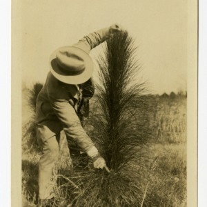 L. B. Altman, County Agent for Gastonia, NC, measuring growth of longleaf pine