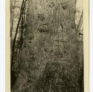 Yellow Poplar in Sugar Grove, NC forest