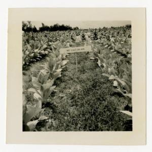 Transplanted tobacco plants