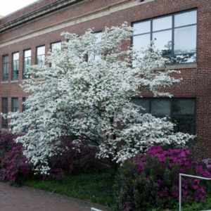 Dogwood And Azalea At Page Hall