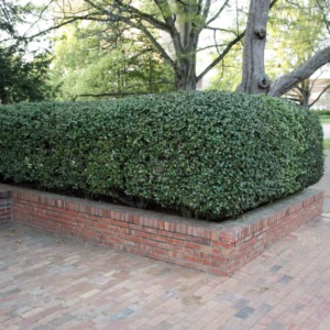 Hedge At Polk Hall