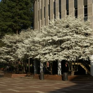 Flowering trees in front of Harrelson Hall