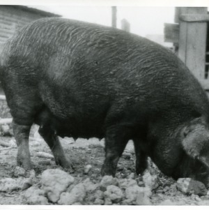 Photo of Swine