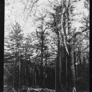 Big Red Oak at Double Spring Gap, May 31, 1910