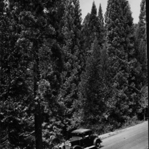 Giant Sequoia Second Growth