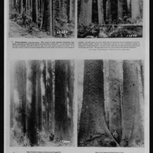 Western Hemlock and Sitka Spruce