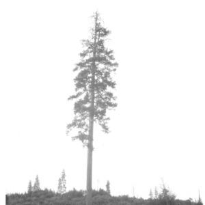 Big Yellow Pine