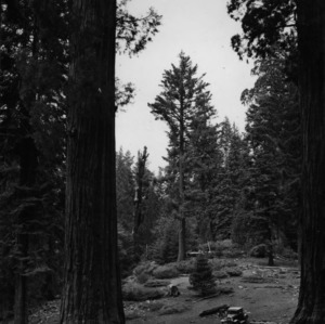 Giant Sequoias in Open Stand