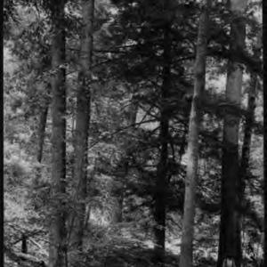 Yellow Poplar With Hemlock