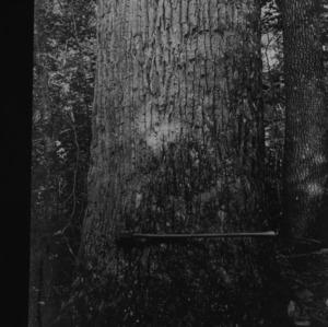 Yellow Poplar in Pisgah Forest
