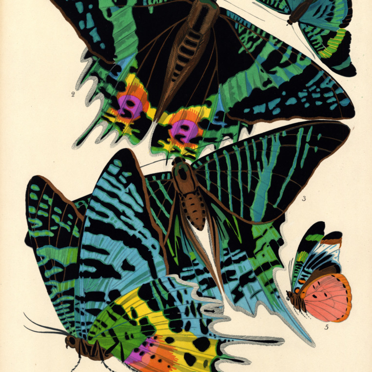 Papillons. Plate 7