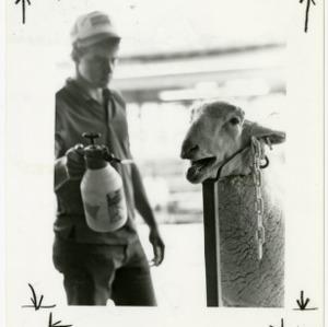 Man sprays down sheep