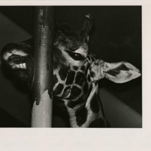 Giraffe at the fair