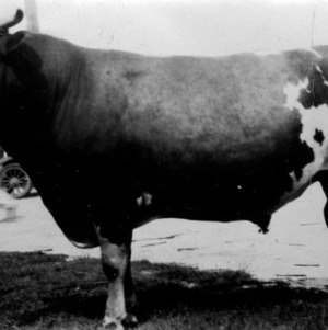 Grand champion cow at N.C. State Fair