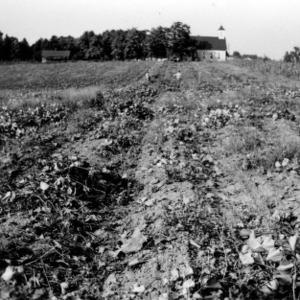 Sweet potato crop