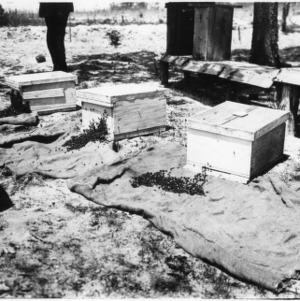Bees entering new hives