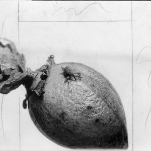 Weevil on unfurled cotton boll