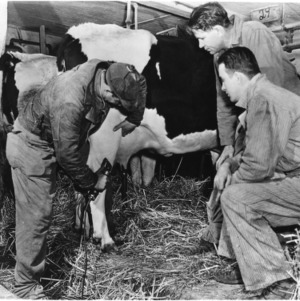 Men connecting up milking machine to cow
