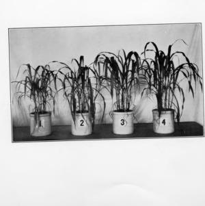 Effect of manganese on plant