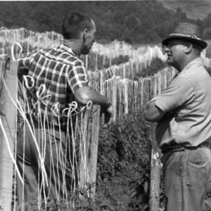 Men in crop field