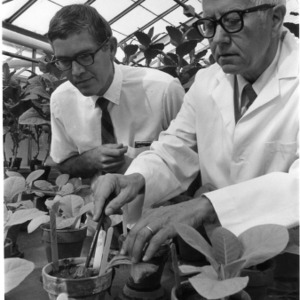 Two men examining potted plants in greenhouse