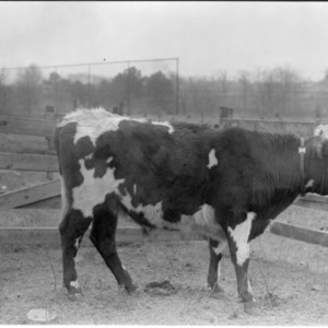 Steer at Central Experiment Station