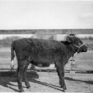 Calf at Central Experiment Station